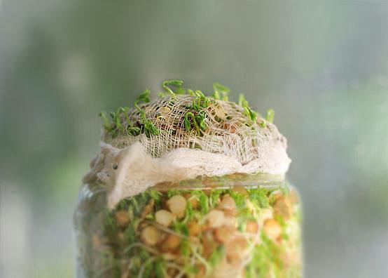 lentil-sprouts-full