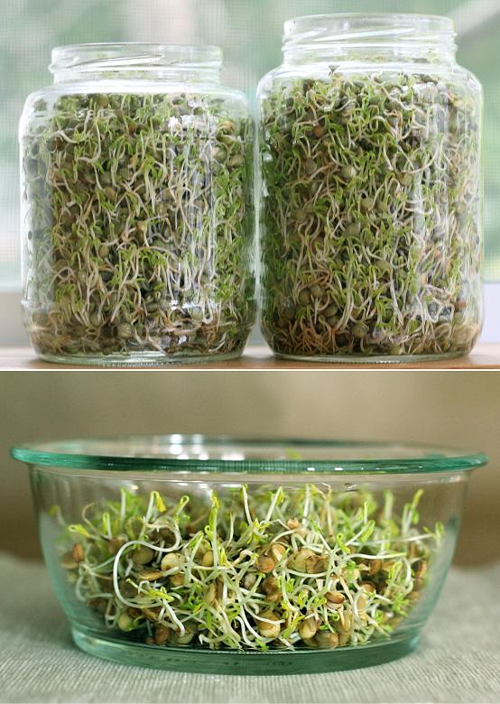 lentil-sprouts-process-3