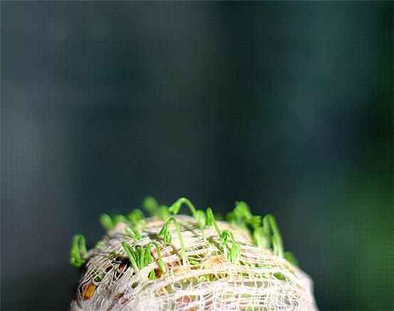 windowsill-lentil-sprouts-2-honestfare.com_