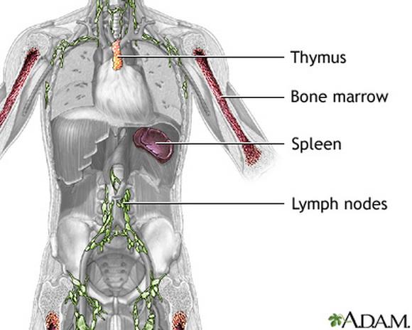 imuni sistem1 1
