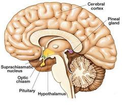 pineal-gland_humanity-healing-1