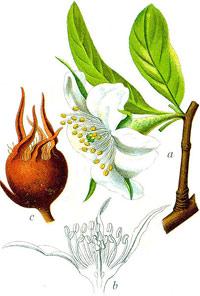 wiki-Mespilus_germanica_Stu