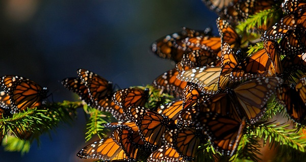 monarch_butterflies_migrating_to_central_mexico_1920x1080
