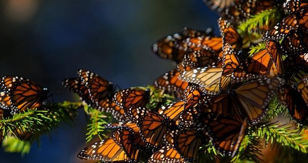 Neverovatno putovanje kraljevskih leptira