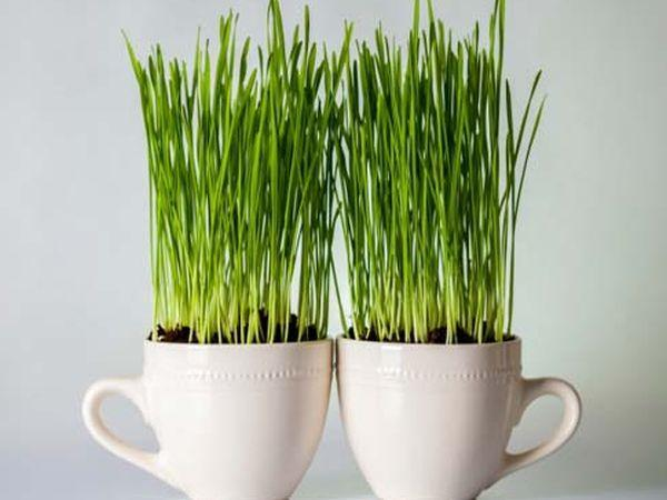 Gajenje pšenične trave u kućnim uslovima