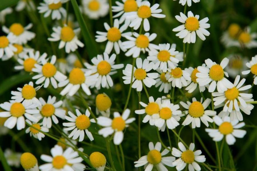 Lekovite biljke kao prirodni analgetici protiv bolova
