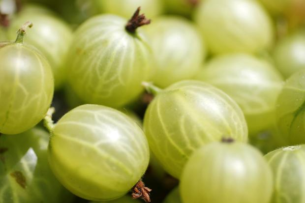 gooseberries_7134523_26283c
