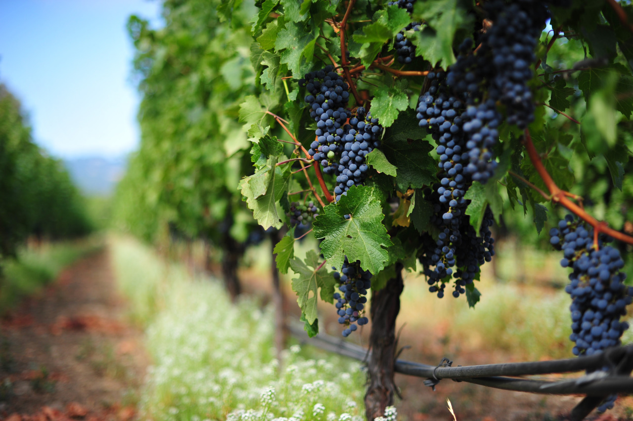 Lekovito grožđe