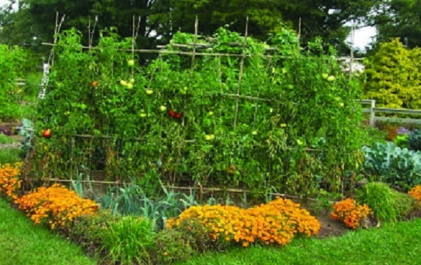 Uloga nevena u organskoj bašti