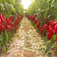 Sindženta preti: Bez naše dozvole više niko neće moći da posadi papriku