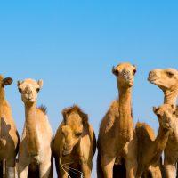 Poučna priča: Kako podeliti kamile?