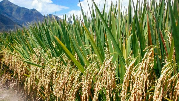 Indija kaže zbogom GMO