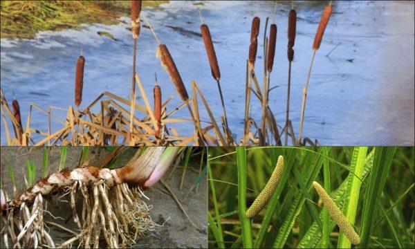 Iđirot – prirodni čistač organizma