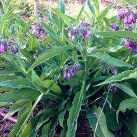 Lekovita biljka gavez – snaga prirode iz nizije