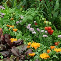 Kompatibilna sadnja- cvetnice koje se slažu sa povrćem