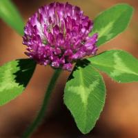 Crvena detelina – korisna tokom menopauze, dobra za srce i kosti!